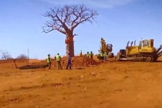 Sanral relocated Baobab trees near Musina during the upgrading of the N1. Eleven Baobabs and 197 Shepherd trees were relocated.